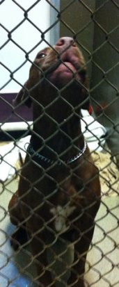 Fab-Finds-Featured-Story-flagler-humane-society-pitbull