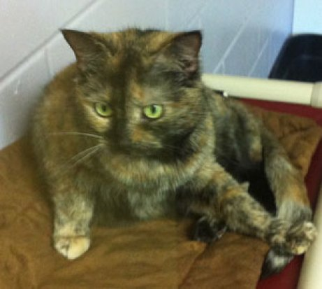 Fab-Finds-Featured-Story-flagler-humane-society-tortie-cat