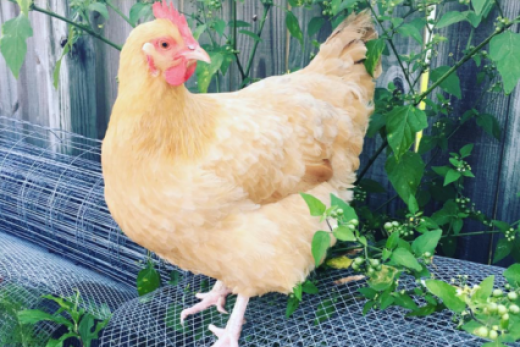 Purina® Organic Poultry Feed