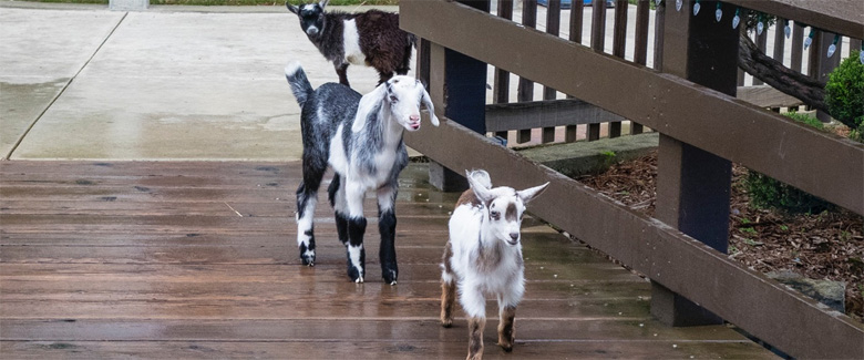 The Three Billy Goats Gruff at Fairytale Town