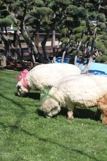 SheepBirthday