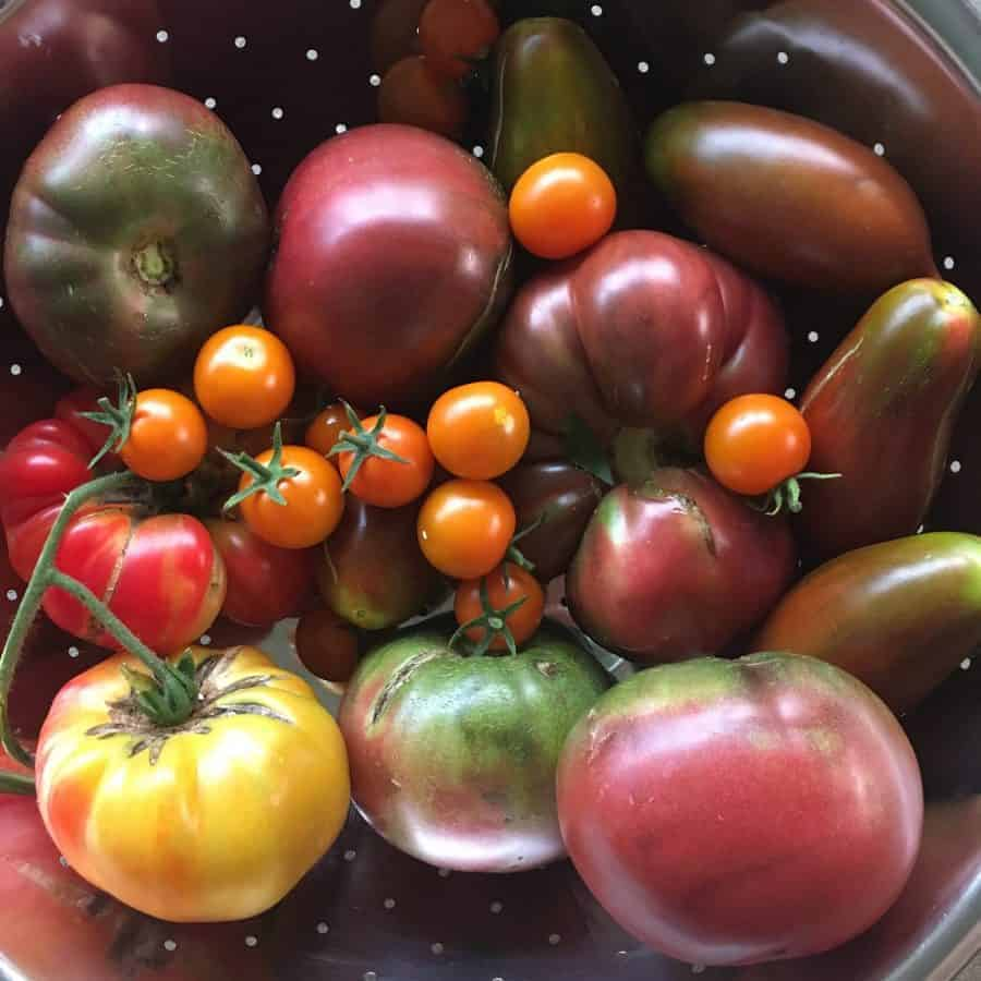 Enthralling Black Tomato Varieties Food Garden Black Vernissage Tomato Care Black Vernissage Tomato Ripe A Short Season Climate Have A Consider Cherry Sized Black Purple If You Live houzz-03 Black Vernissage Tomato