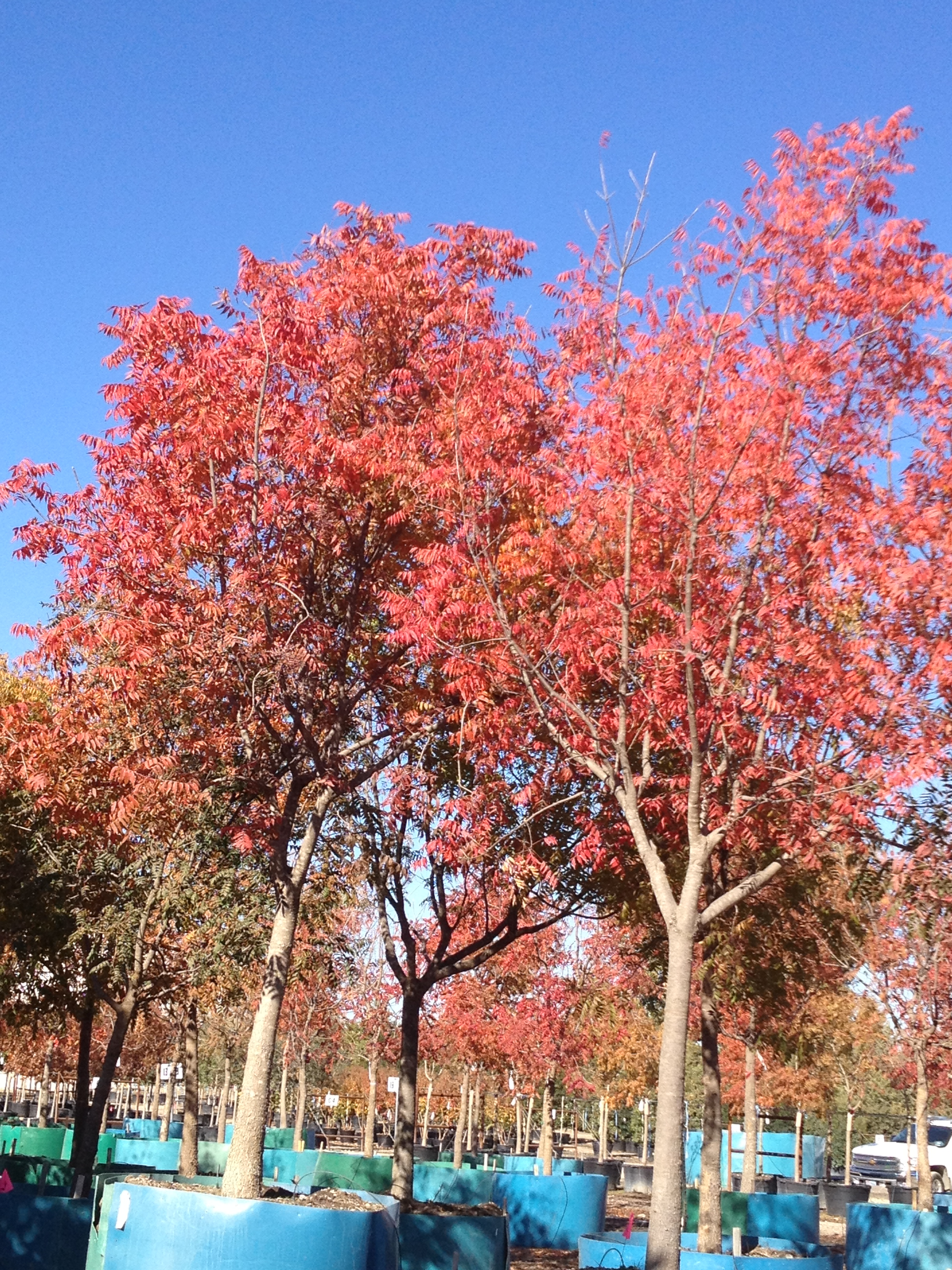 Magnificent Sale Chinese Pistache Tree Leaves Turning Brown Chinese Pistache Fall Color Chinese Pistache Fall Color Fannin Tree Farm Chinese Pistache Tree houzz 01 Chinese Pistache Tree