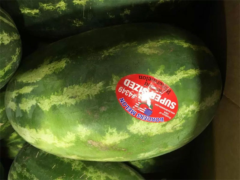 Supersized Watermelons Arrived