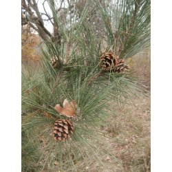 Small Crop Of Pine Tree Seeds