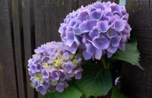 Como cultivar a Hortência (Hydrangea Macrophylla)