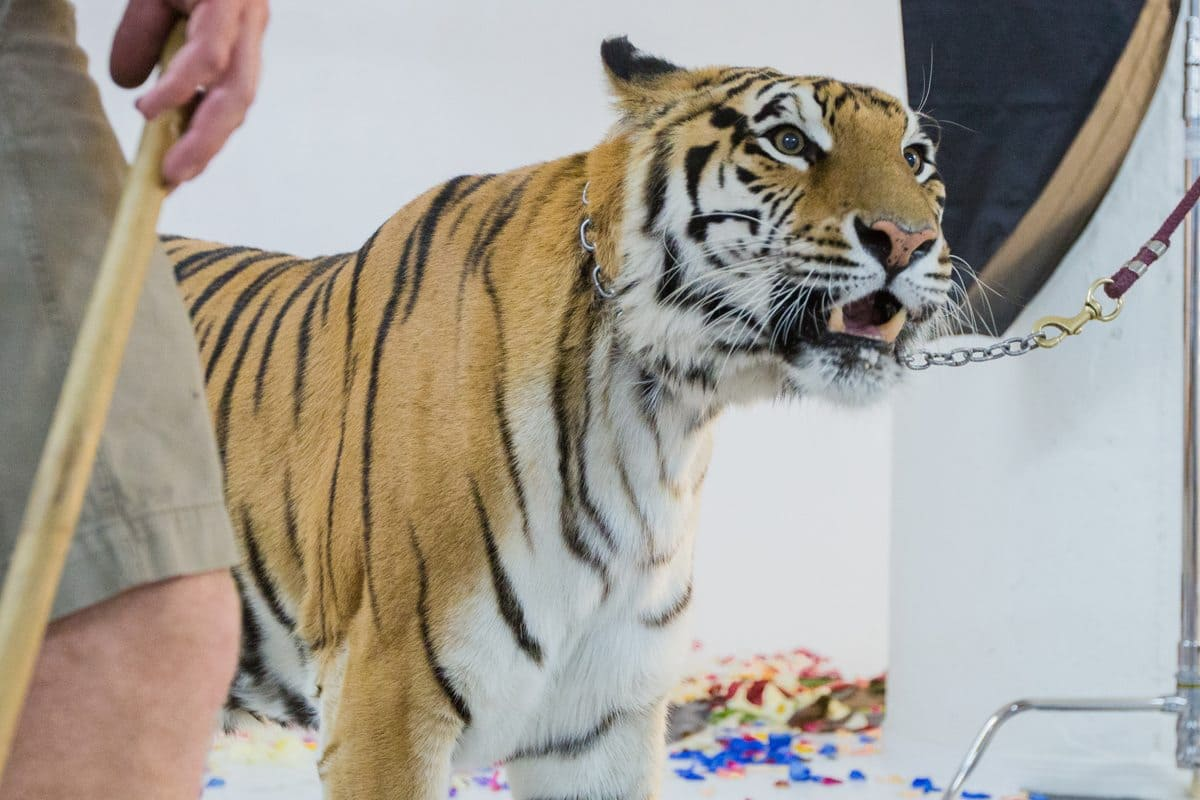 Live Tiger at FD Photo Studio!