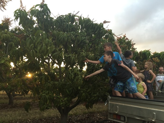 School holiday time at the moment - the kids having a tour of the orchard and picking out their mangoes for eating next school holidays!