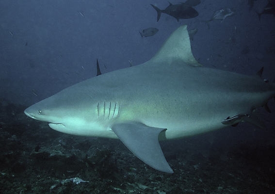 Man-eater: The Bull Shark