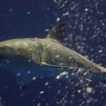 Great White Shark Caught & Released… Again.