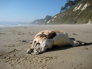 Decapitated Seal on Hope Ranch Beach