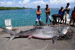 Tahitians Catch Massive Tiger Shark in Teahupoo Nets