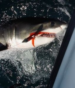 A Great White Shark was caught by fly fishermen off the La Jolla coast