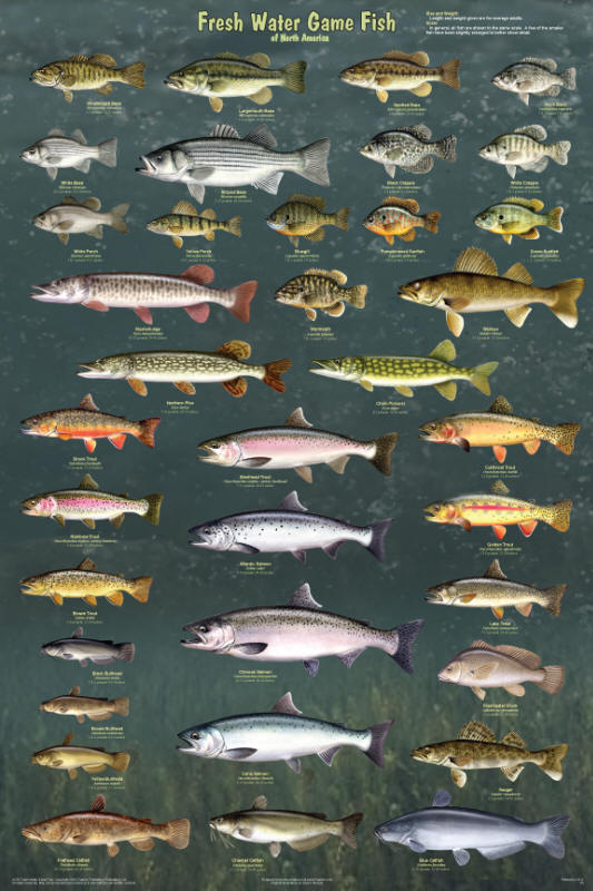 Freshwater fish game freshwater gamefish of north for Freshwater fishing games