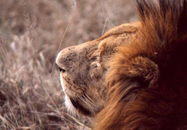 Kenya_010_lion close up