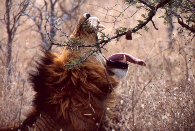Kenya_012_lion big yawn