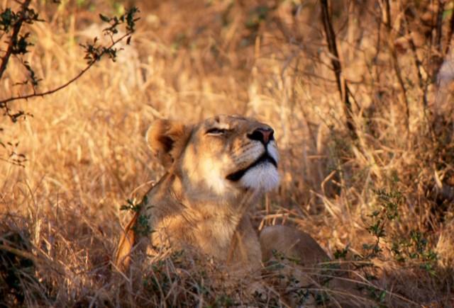 Kenya_074_lioness at rest