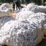 Le Mali redevient premier producteur africain de coton