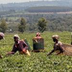 PROPARCO promeut les pratiques durables dans les plantations de thé kényanes