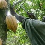Nigeria: le CAN annonce une chute de 60% de la récolte cacaoyère