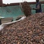 Côte d'Ivoire: le prix d'achat du kilo de cacao maintenu à 1000 FCFA pour la campagne intermédiaire