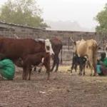 Développement de l'élevage: la Banque mondiale va injecter 50 milliards de F CFA au Cameroun
