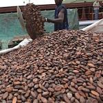 Côte d'Ivoire:  La production de cacao chute de 100 000 tonnes