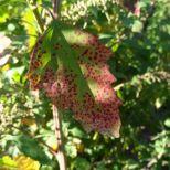Baumspinatblatt im Herbst