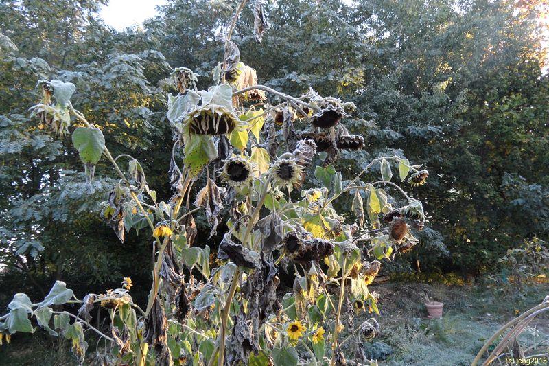 Gefrorene Sonnenblumen