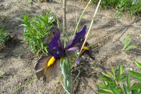 Irisblüten am 26.05.2016