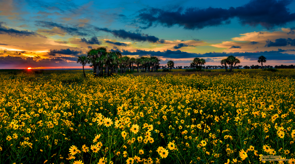 Lake Jesup Sunflowers Wildflowers