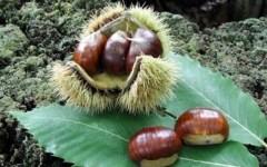 Toscana, castagne: produzione in crescita del 50%