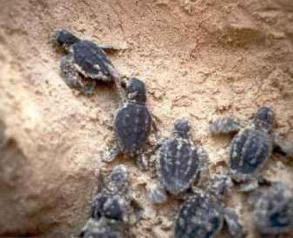Le piccole tartarughe Caretta Caretta