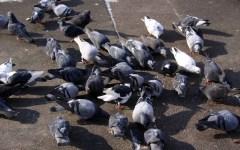 Pisa, guerra ai piccioni