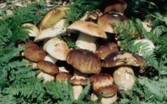 Funghi in Toscana: stagione ricca. Ma ci sono nuove regole da rispettare