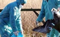 Arezzo, influenza aviaria in un allevamento di anatre: abbattuti 80 capi