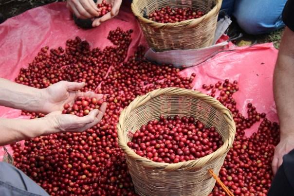 La selezione manuale delle drupe mature dopo la raccolta (foto dal libro di AndrejGodina)