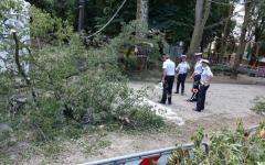 Firenze, Cascine: l'albero caduto era minato da un fungo molto aggressivo. La spiegazione dell'Assessore