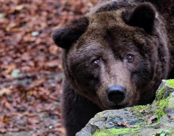 Morto Bruno l'orso 'comunista' del parco di Cavriglia