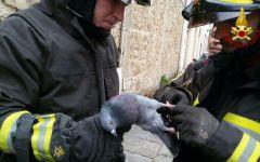 Firenze: piccione liberato dai vigili del fuoco. Era impigliato in un filo