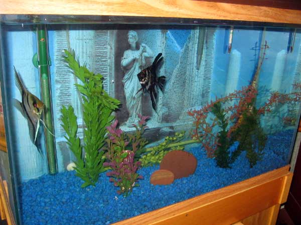 Freshwater Angelfish Tank Mates Images & Pictures   Becuo