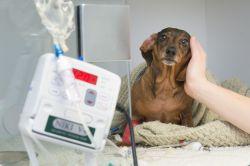 Fun Our Ward Intervertebral Disc Disease Fitzpatrick Referrals Short Spine Dog Quasimodo Short Spine Dog Flute Some Quality Time One
