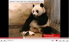 Sneezing Baby Panda (*73,530,389 views)