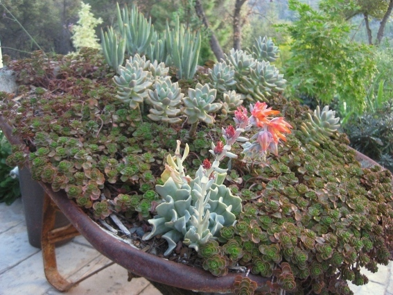 Dragon's Blood sedum in a vintage wheelbarrow