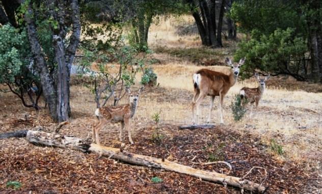 Deer Mom and twins