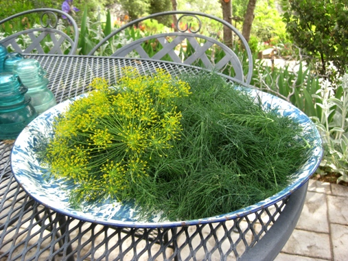 Dill harvest to last a year!
