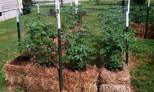 Tomatoes growing in the bale