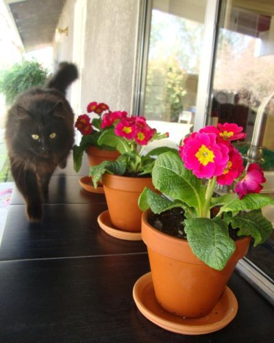 Primrose are purrrfect for flower pots