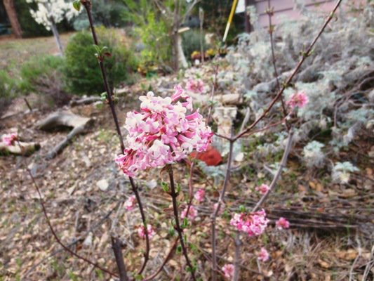 Pink Viburnum bloom in March