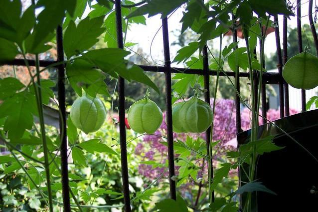 Jeannie Rhodes's 'Love in a Puff' vine